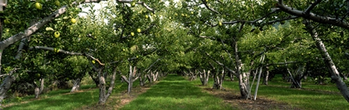 Golden Delicious Apple Orchard