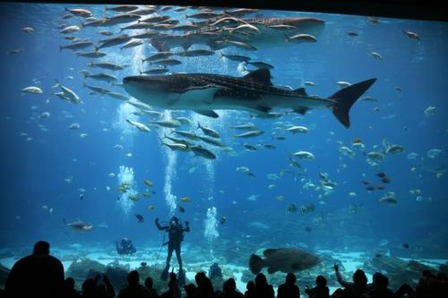 Dive Presenter & Whale Sharks