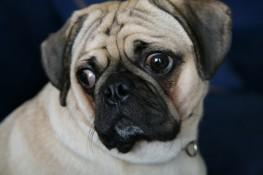 A Pug Family Pet