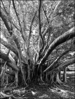 Banyan, Bermuda